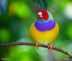 Gouldian Finch by jaredb93max                          Taken at Butterfly World in South Florida