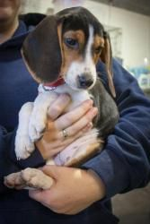Fey Is An Adoptable Beagle Dog In Albany Ny We Are In