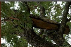 A Nigerian tree hive in situ (2010). Constance Falk image.