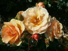 Rose Naming Opportunities Dicnuance