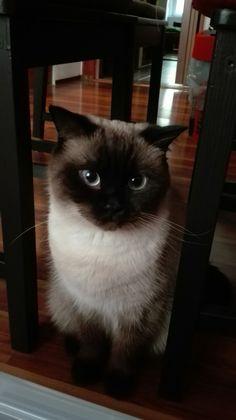 Bali cat