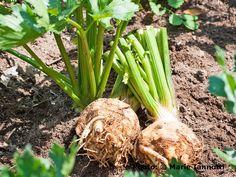 Celeriac Looks like Celery, but It's Easier to Grow.: How to Grow Celeriac