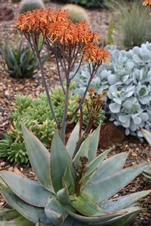 Experienced UK grower selling wide variety of drought resistant plants from hardy sedums to trailing tradescantia navicularis. Agaves, Outdoor Landscaping, Front Yard Landscaping, Orange Flowers, Coral Orange, Coral Pink, Drought Resistant Plants, Persian Garden, Leaf Texture