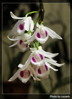List of Dendrobium species