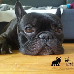 . ▼▼▼ Like This Post? Then Show Some Love And Tag Your Frenchie Loving Friends! ▼▼▼ . After you have done that make sure to follow us for more awesome posts like this. Also make sure to check out our shop at www.MyFrenchBulldogShop.com if you want to pick up some awesome French Bulldog merchandise :)  #frenchie #instafrenchie #frenchies #frenchiesofinstagram #frenchielove #fitfrenchies #frenchieoftheday #frenchiegram #ilovemyfrenchie #thefrenchiepost #fab_frenchies #frenchielife #..