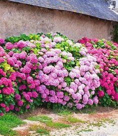 idée de jardin fleurs haie plantes