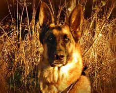 Fine Art Photography  german shepherd by VanillaExtinction on Etsy, $20.00