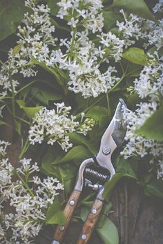 white lilacs. secateurs.