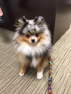 The traits we all respect about the Pomeranian Puppy More About Playfull Pomeranian Dogs Cute Little Animals, Cute Funny Animals, Cute Dogs And Puppies, I Love Dogs, Doggies, Beautiful Dogs, Animals Beautiful, Cute Pomeranian, Animals And Pets