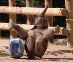 Baby elephant fall down go boom!