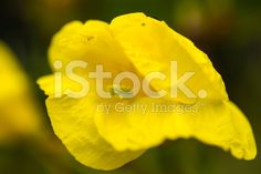 single yellow flower royalty-free stock photo