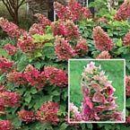 Lil' Ruby Dwarf Oakleaf Hydrangea Michigan Bulb Co., Full sun to partial shade; early to midsummer, 3-4'
