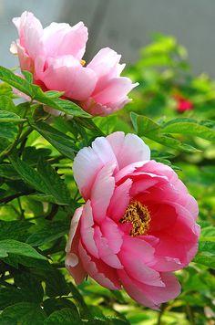 摄影 植物/花卉 嘀咕图片 Flowers Gif, Pretty Flowers, Pink Flowers, Flower Images, Flower Pictures, Flower Art, Peony Painting, Watercolor Flowers, Beautiful Flowers Photos