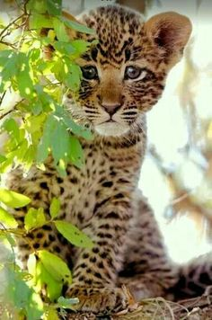 Maria Donnellan Mella Ⓥ on - Raubkatzen - Animals Wild Kittens Cutest, Cute Cats, Cats And Kittens, Big Cats, Nature Animals, Animals And Pets, Wild Life Animals, Beautiful Cats, Animals Beautiful