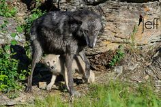 White Wolf : Wolf Pups Snuggle Up To Their Mothers In The Wild (22 Pics)