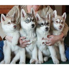 Сибирские хаски ❤ liked on Polyvore featuring animals