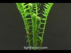 Time lapse of fern sprouting