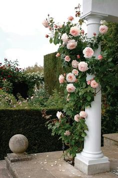 A Shropshire Lad - Heirloom Old Garden Roses, St Paul OR