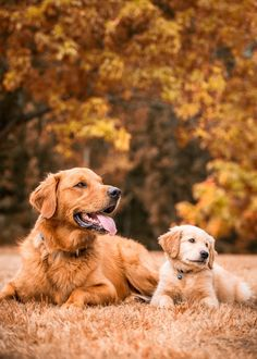 Scientifically raising golden retriever is the most important thing ~ Cute Dogs And Puppies, Baby Dogs, I Love Dogs, Pet Dogs, Dog Cat, Pets, Chien Golden Retriever, Golden Retrievers, Dog Photography