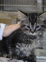 Maine coon cats for sale cincinnati