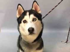 RETURN 6/15/17 NO TIME!! SAFE?? SUPER URGENT Brooklyn Center LUKE – A1104359  **RETURNED 06/15/17**  MALE, WHITE / BLACK, ALASKAN HUSKY, 1 yr, 8 mos OWNER SUR – EVALUATE, HOLD RELEASED Reason NO TIME Intake condition EXAM REQ Intake Date 06/15/2017, From NY 11420, DueOut Date 06/15/2017,