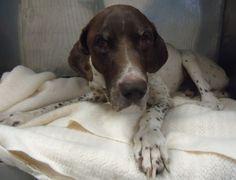 German Shorthaired Pointer, Animal Welfare, Old Men, Pet Health, Animal Shelter, Best Dogs, Michigan, Adoption, Guy