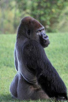 Primates, Mammals, Animals And Pets, Funny Animals, Regard Animal, Types Of Monkeys, Silverback Gorilla, Ape Monkey, Nature