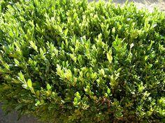 Le piante che si possono utilizzare per realizzare delle siepi sono molte, alcune hanno un fogliame persistente, altre non sono sempreverdi, altre ancora si comportano da sempreverdi in luoghi a