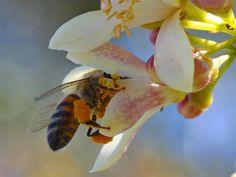 manuka honig gesund lebensmittel heilmittel biene