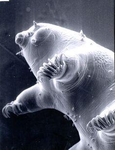 The water bear, or tardigrade, is the world toughest animal. Measuring less than a millimeter on average, these tiny creatures survive the most hostile conditions. Back To Nature, Ocean Life, Science And Nature, Sea Creatures, Strange Creatures, Under The Sea, Amazing Nature, Animal Kingdom, Whale