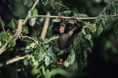 Reise zu den Schimpansen in Uganda mit Natürlich-Reisen Tourdesign - Rundreisen - Gruppenreisen und Individualreisen - Natürlich Reisen!