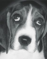 The Beagle. These little hound dogs were bred to work in packs and have a strong need for companionship.