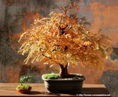 redwood bonsai in autumn http://bonsai.correiadasilva.net/pt/bonsai-galeria/galeria/metasequoia/metasequoia-2/2013-11-24-35-368
