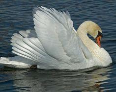 Mute Swan | Audubon Field Guide