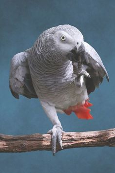 African Grey Parrot Photograph - Secretive Gray Parrot by Debi Dalio Exotic Birds, Colorful Birds, Parrot Image, Parrot Drawing, Bird Barn, Barn Owls, Parrot Perch, Budgies, Parrots