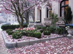 Blooming Boston Magnolia Tree
