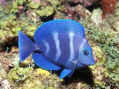 Blauwe vis
