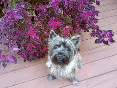 Miller Cairn Terrier is happy to have a touch of fall in the air!