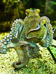 El pulpo tiene forma de globo, con ocho brazos alrededor de la boca unidos en su base por una membrana. Estos brazos presentan dos hileras de ventosas. Carecen de concha, de la que sólo conserva vestigios. El color es variable dependiendo del estado del animal, que es uno de los mejores mimetizadores. Puede alcanzar el metro y medio y pesar unos 15 kg. Vive en fondos rocosos, se alimentan de moluscos, crustáceos y peces pequeños. También, si el alimento escasea, puede actuar como carroñero.