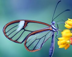Free Image on Pixabay - Butterfly, Glass Wings, Greta Oto Carl Rogers, Types Of Butterflies, Beautiful Butterflies, Photo Café, Out Of The Closet, You Are Awesome, Beautiful World, Cool Pictures, Insects