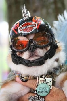 poor Pug...The things we do to our pugs for our own amusement... LOL