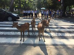 [OC] Nara deer doing Abbey Road