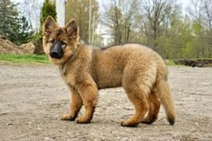 red haired german shepherd dogs | Long haired German Shepherds? - Page 2 - German Shepherd Dog Forums #germanshepherd