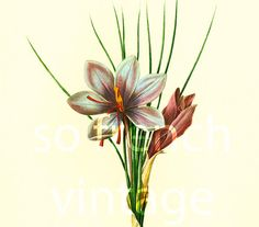 This print is taken from a french book published in 1983. Pierre- Joseph Redoute (1759 - 1840) was a French painter and botanist known for his watercolors of flowers and fr...
