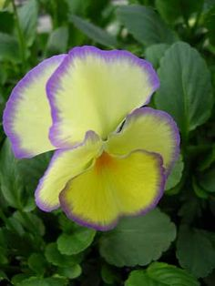"""Viola 'Etain' - the most valuable of all Violas! Reliably perennial, it blooms heavily Spring thru Fall across the U.S.  year around in coastal California. Enchanting primrose yellow petals beautifully edged in lavender are 1"""" to 1.5"""" across, scented  perfect for posies with a dense neat foliage clump. Cut back to 3"""" tall once in awhile to rejuvenate  top-dress with compost. To 10"""" tall.  Sun - Bright Shade (especially in warmer areas)"""