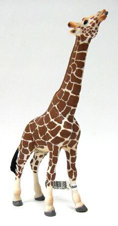 Giraffe Male Eating