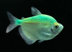 Electric Green GloFish Tetra - Gymnocorymbus ternetzi | Green and ...