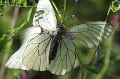 www.photomacrography.net :: View topic - After A 50 Year Wait: Black-Veined Whites Aporia crataegi