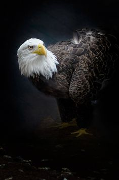 Bald Eagle 6 by Edwin Leung / 500px Cool Photos, Beautiful Pictures, Birds Of Prey, Bald Eagle, Beautiful Lights, Portrait, Animals, Animales, Headshot Photography