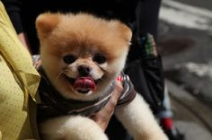boo the dog breed price